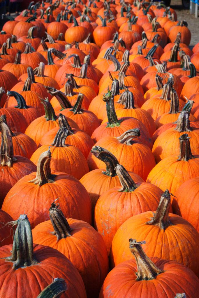 Duffield's Pumpkin Picking- The Poppy Skull