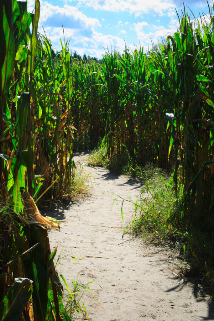 Halloween Corn Maze