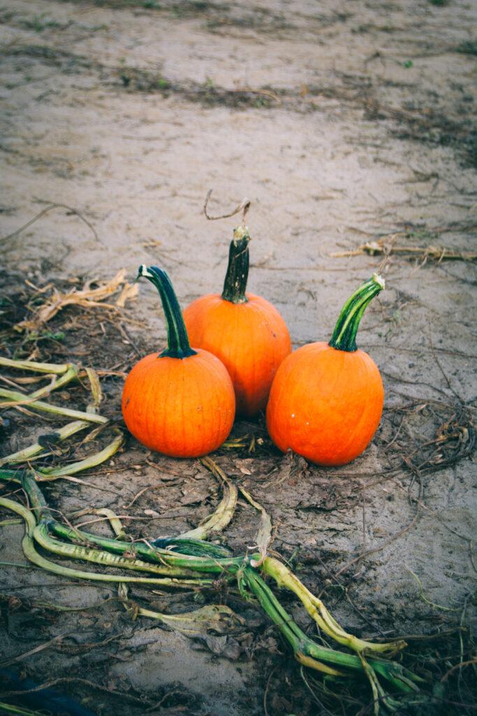 South Jersey Pumpkin Patch