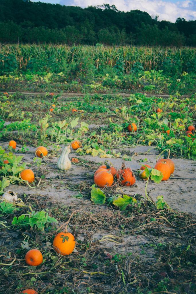 Johnson's Farm Pumpkin Patch