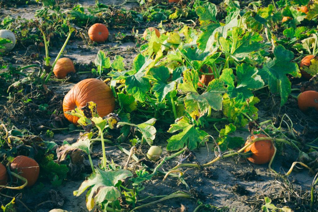 Pumpkin Picking Johnson's Farm