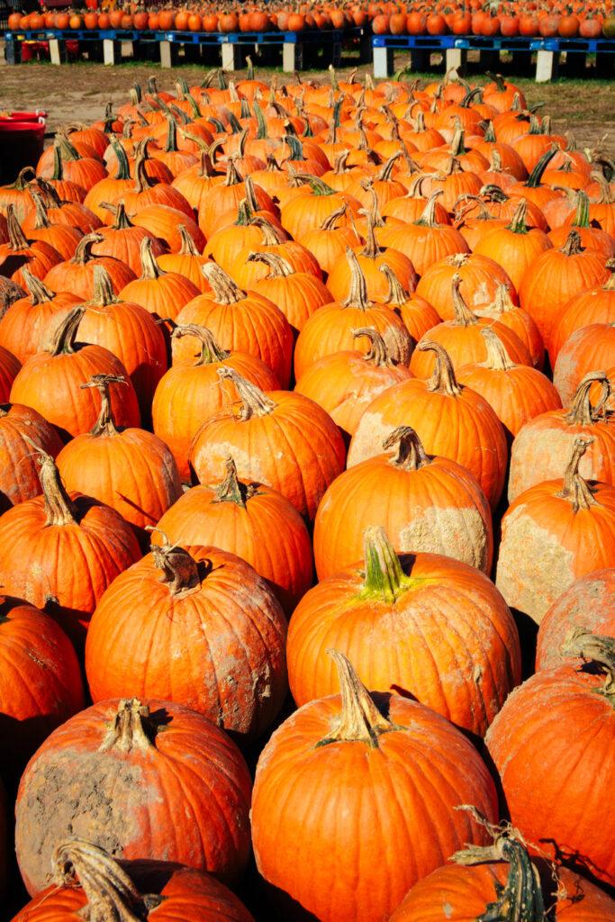 South Jersey Pumpkin Farm