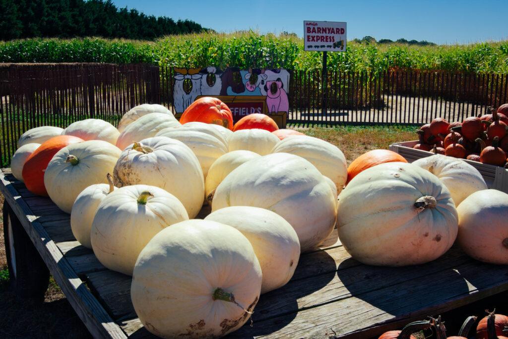South Jersey Pumpkin Picking